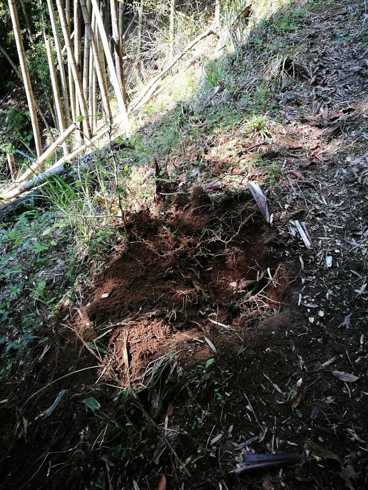 0520猪の掘り跡