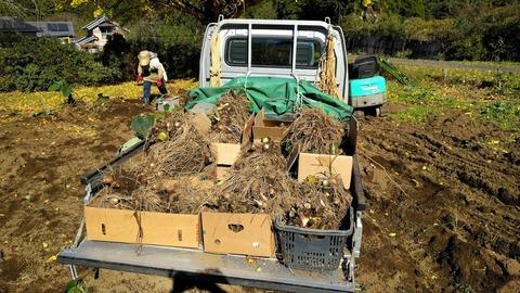 1121サトイモ収穫2.jpg