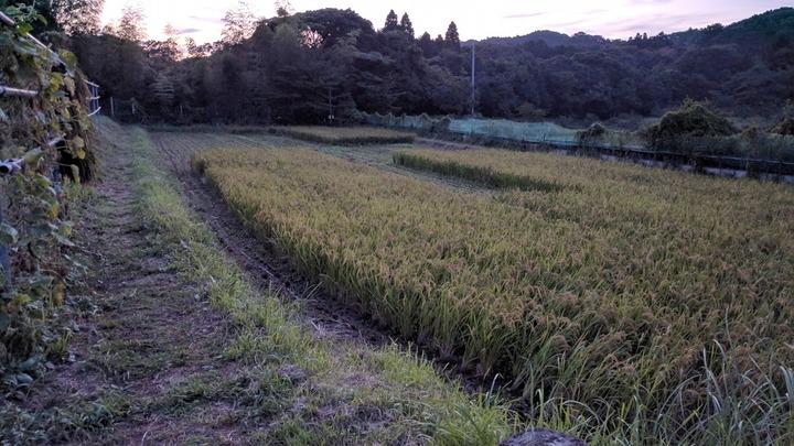 0909イネ刈り1