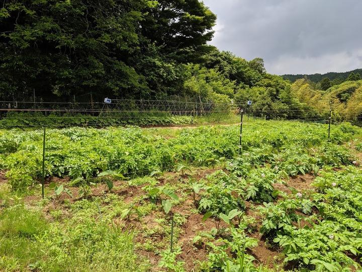 0608ジャガイモ畑