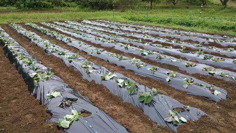 0609サツマイモ植え付け中.jpg