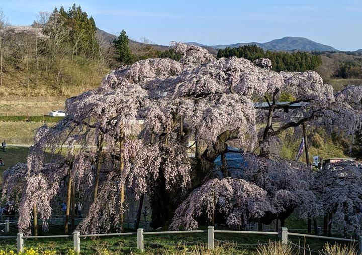 0418滝桜昼6