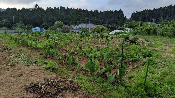 0626サトイモ畑