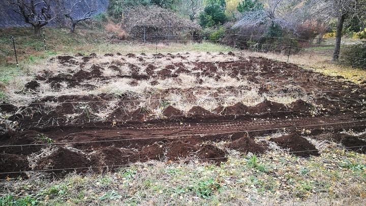 1122借り畑のサトイモ