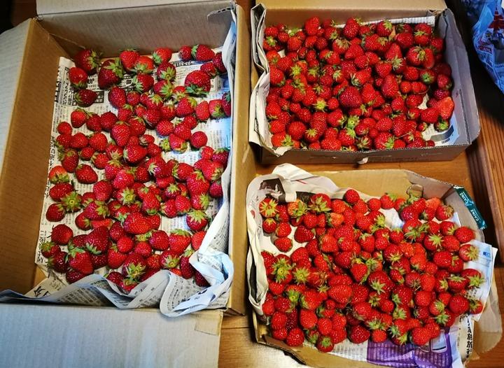 0524イチゴ収穫