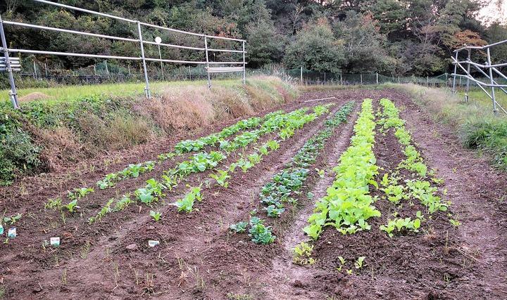 1027田んぼの葉物野菜