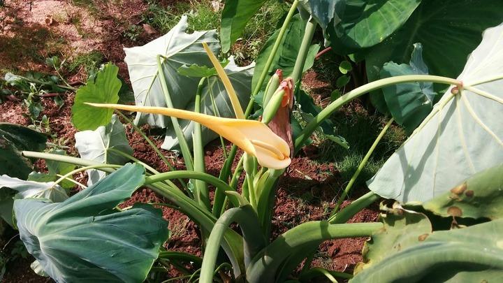 0909里芋の花.jpg