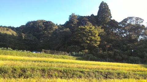 0911稲刈り前の田んぼ2.jpg