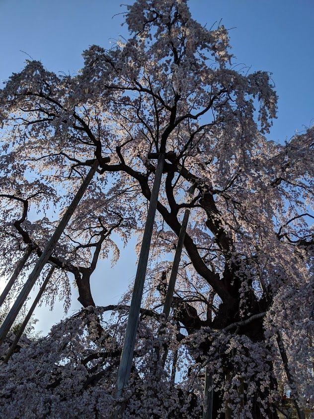 0418滝桜昼4