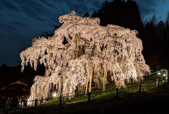 0418滝桜夜2