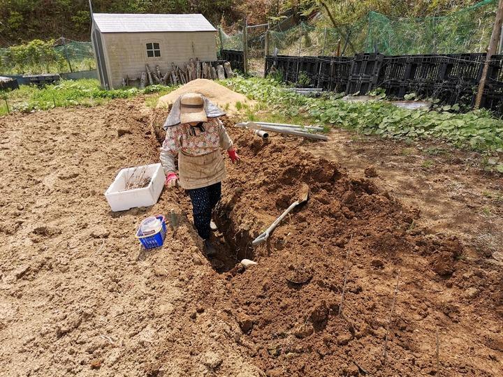 0424自然薯植え付け