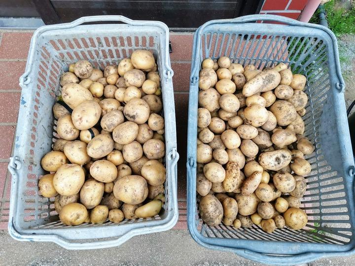 0615ジャガイモ収穫