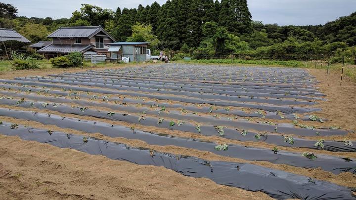 0607サツマイモ畑1