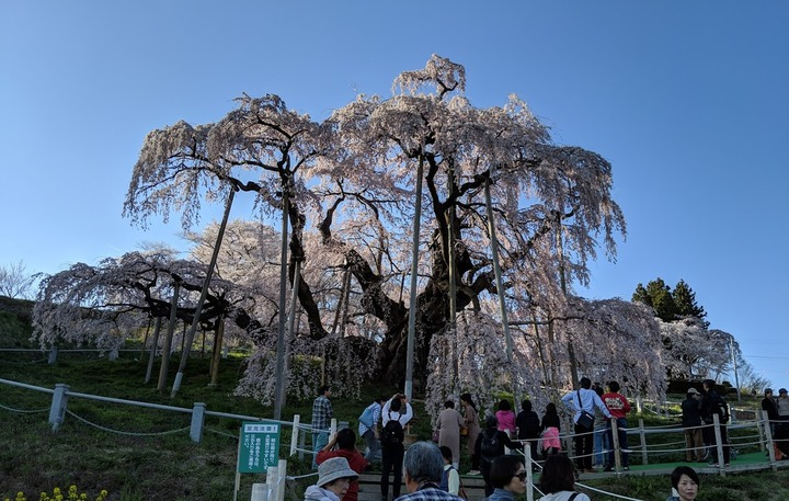0418滝桜昼7