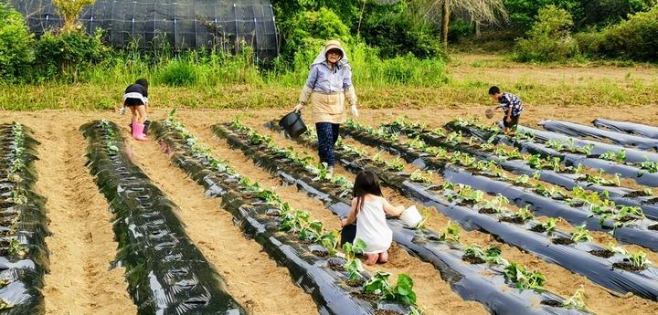 0530イモ植え付け1