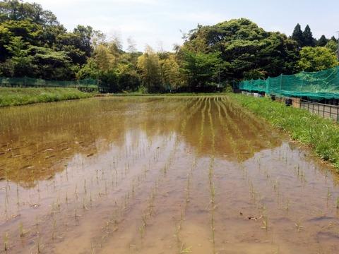 0515田の草取り2.jpg