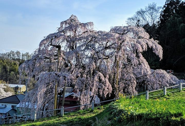 0418滝桜昼3