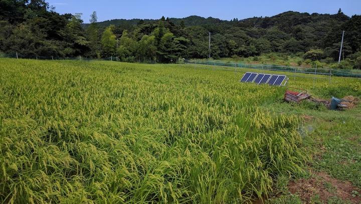 0817台風後の田んぼ.jpg