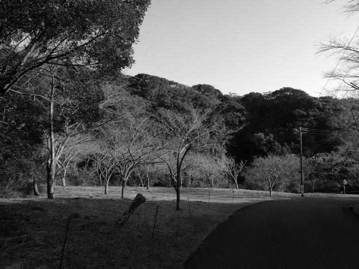 1126桜の木1