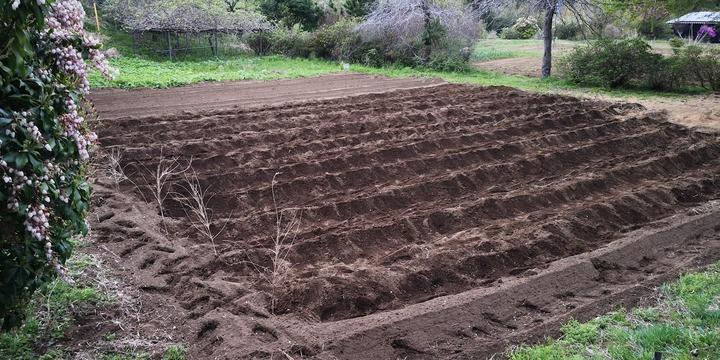 0412借り畑のサトイモ1