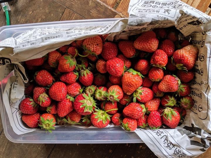 0515イチゴ収穫