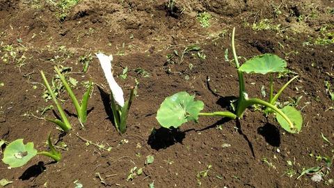 0611サトイモの葉