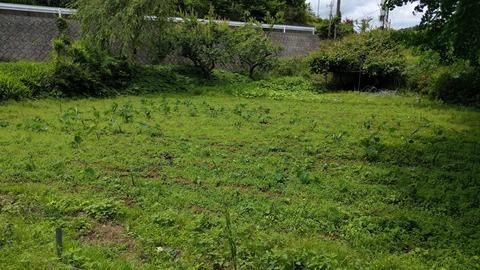 0609サトイモ畑.jpg