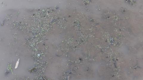 0510浮いたコナギの芽.JPG