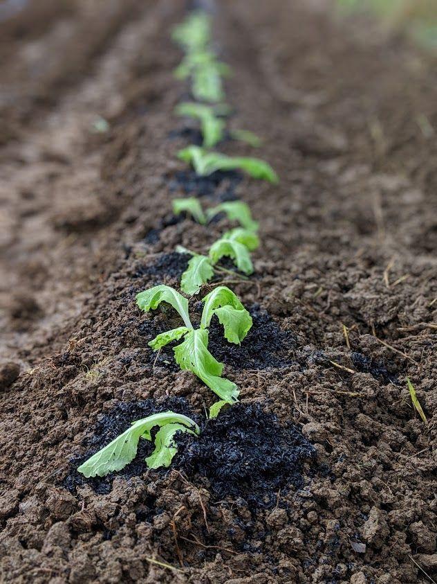 1107山東菜植え替え