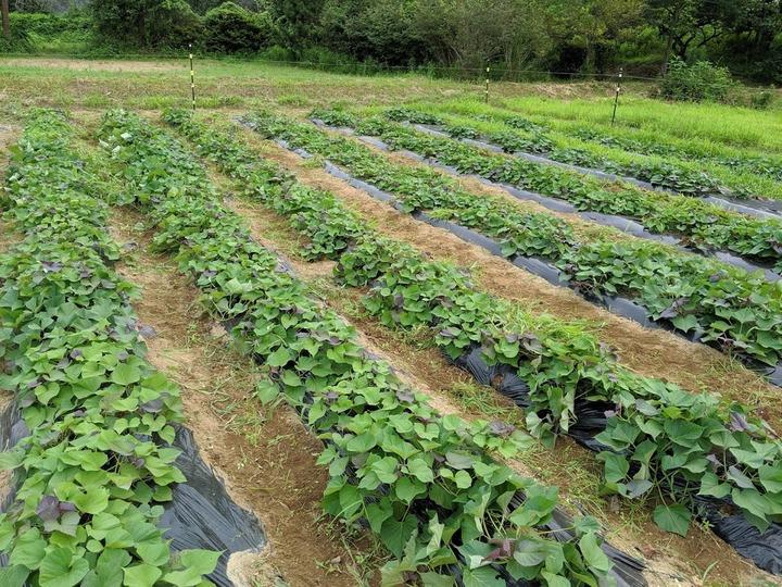 0801芋畑2