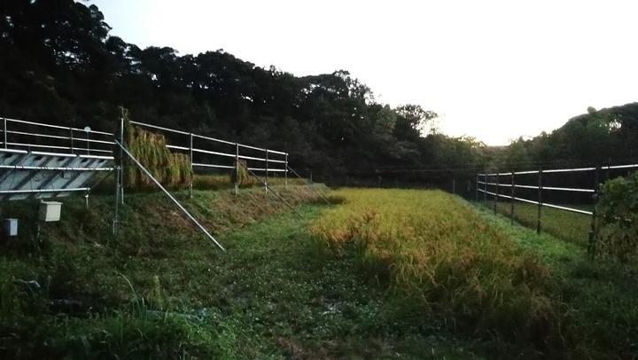 0908イネ刈り開始夕方