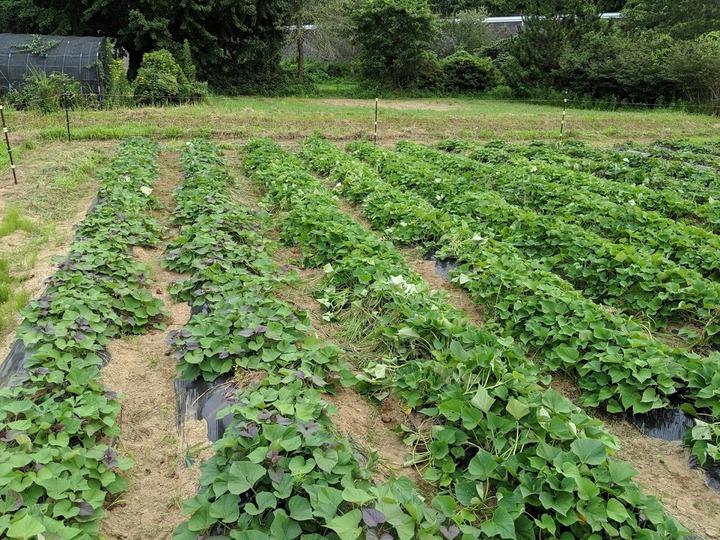 0801芋畑1