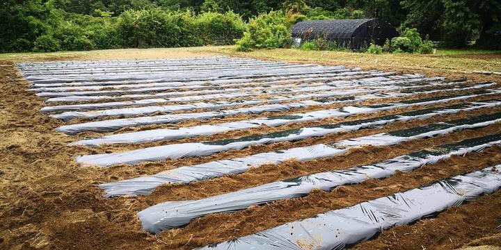 0526芋畑準備完了