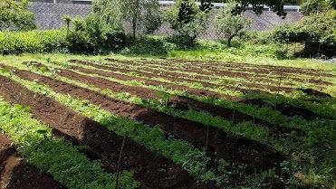 0611サトイモ畑その2.jpg