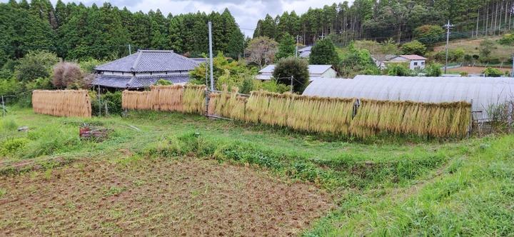 0910イネ刈り終21