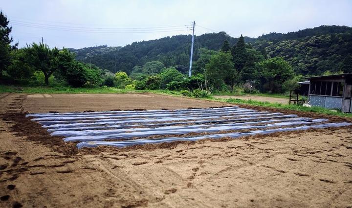 0518芋畑