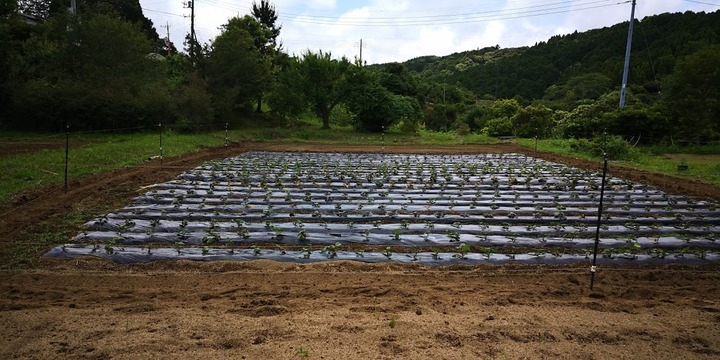 0608サツマイモ畑
