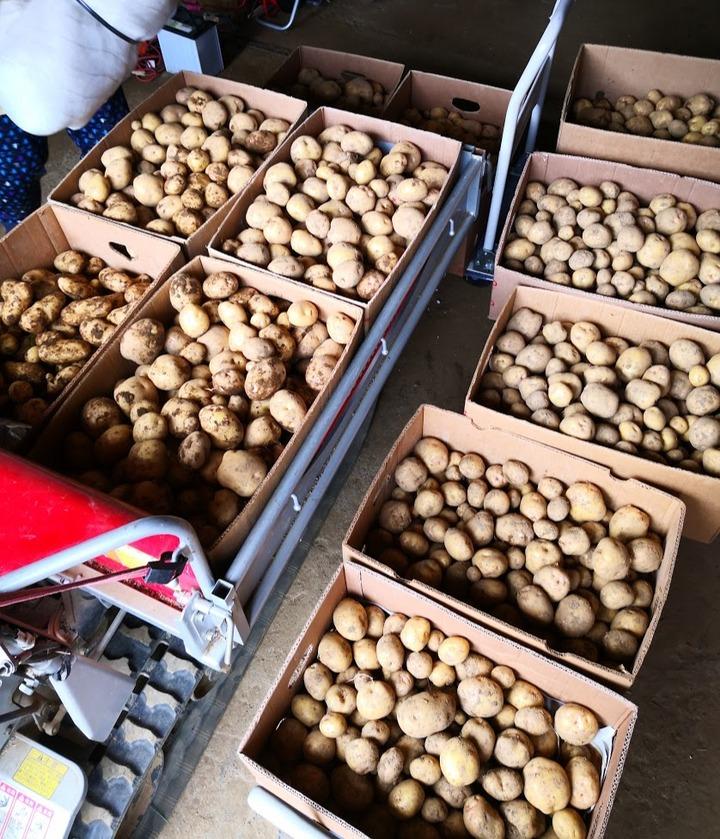 0618キタアカリ収穫