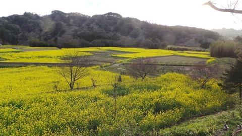 0327菜の花畑2.jpg