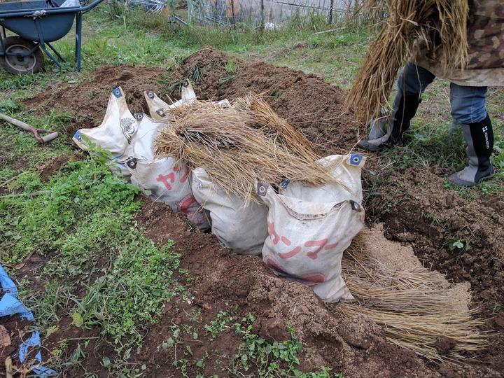 1029サトイモの保存2
