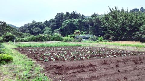 0612イモ畑.jpg