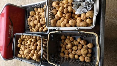 0607ジャガ芋収穫中2.jpg