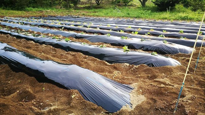 0601サツマイモ植え付け