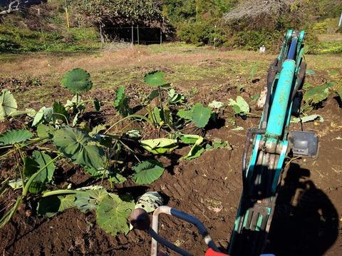 1121サトイモ収穫1.jpg