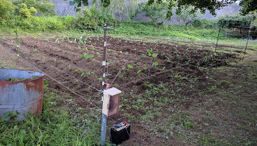 0611サトイモ畑その4.jpg
