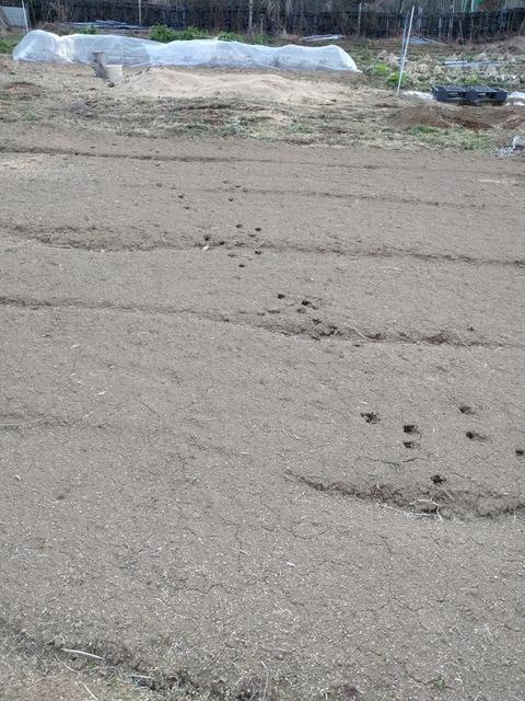 0128畑の足跡.jpg
