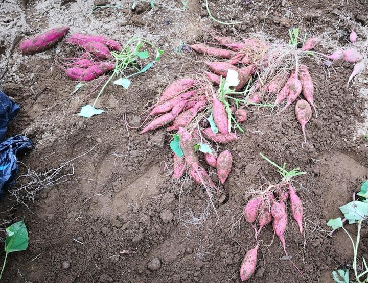 0912サツマイモ収穫