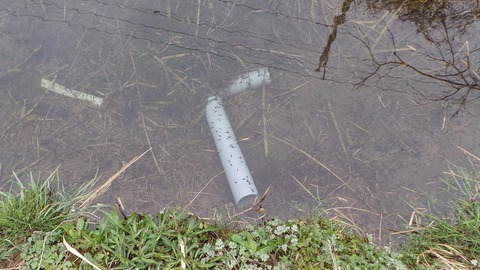 0316上野池のオタマ.JPG