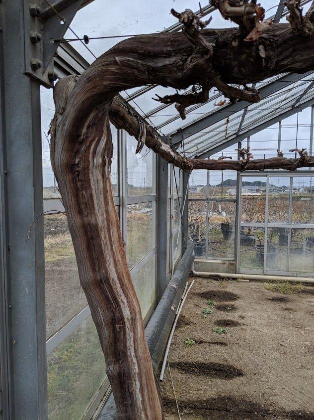 0307ブドウ温室3