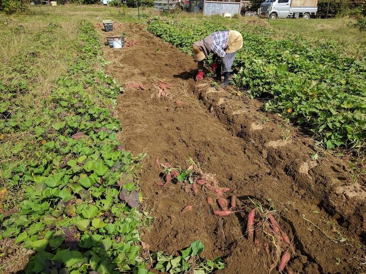 1012芋掘り